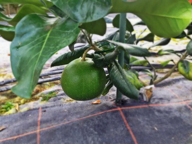 pamplemousse kao pan (citrus grandis ou citrus maxima)