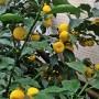 hana-yuzu (citrus junos var. hana-yuzu)
