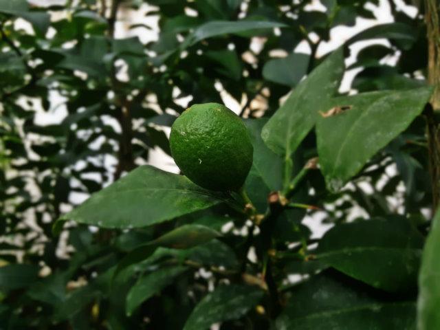 lime mexicaine (citrus aurantifolia var. mexicaine)