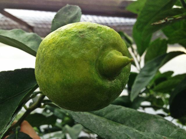 citron yuko (citrus limon var. yuko)