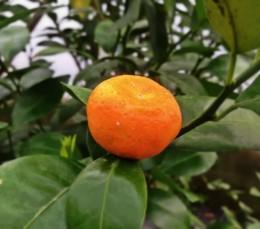 shikuwasa (citrus shikuwasa)