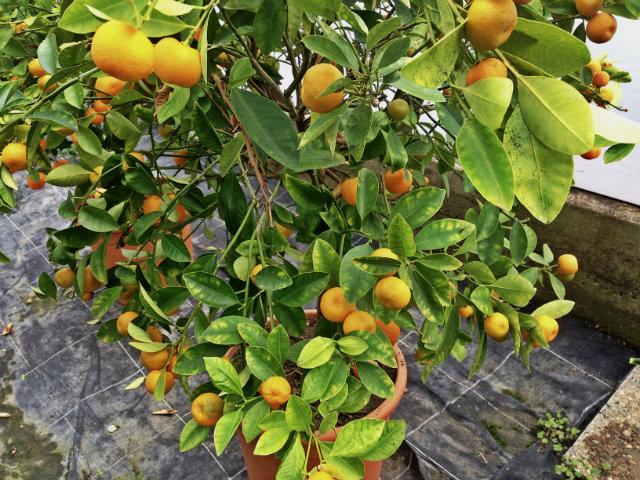 calamansi (kalamansi, calamondi, citrus mitis ou citrus madurensis)