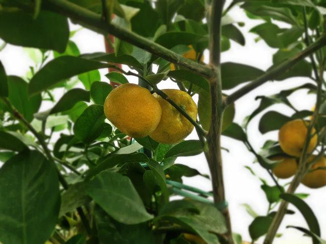 keraji (citrus reticulata var. keraji)