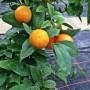 lime de Rangpur (citrus limonia var. Rangpur)